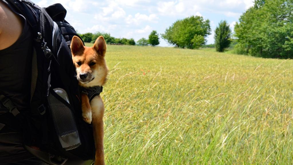 Shiba Inu sitzt in Hunderucksack, im Hintergrund ein Feld