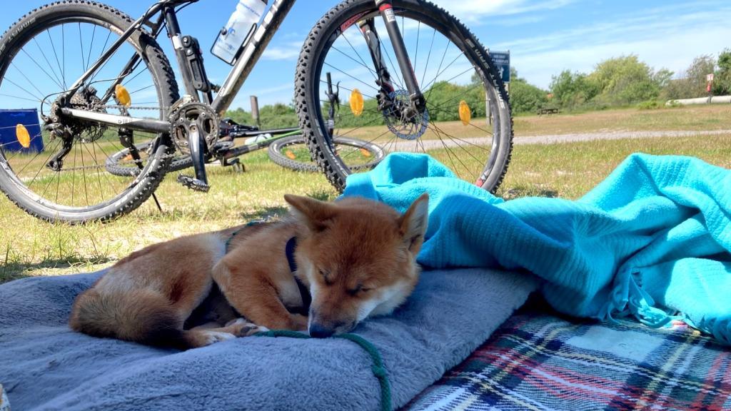 Schlafender Shiba Inu vor Fahrrad