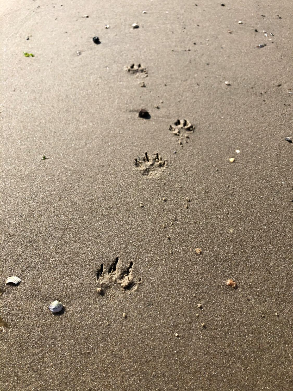 Pfotenabdrücke im nassen Sand